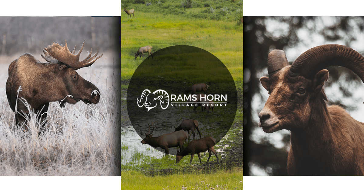 A Guide To Animals In Rocky Mountain National Park Rams