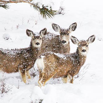 Deer with snow