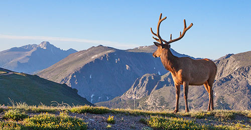 Elk looks at Longs Peak